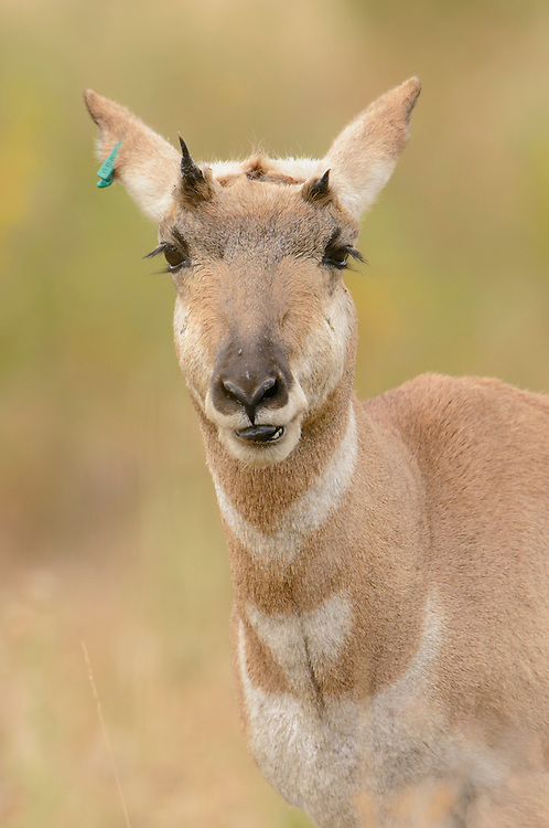 Pronghorn Yearling - Antilocapra americana - Western Montana