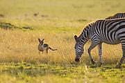 Black-backed Jackal<br /> Canis mesomelas<br /> Masai Mara Triangle, Kenya
