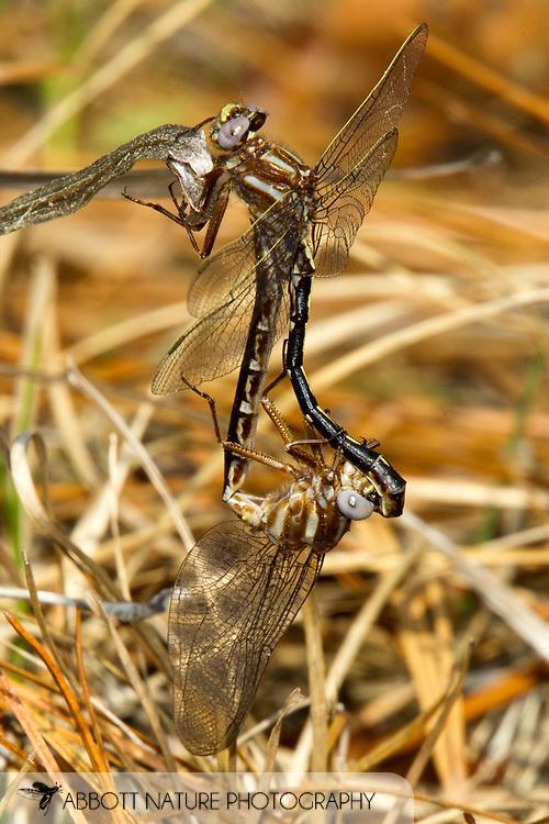 Ashy Clubtail (Phanogomphus lividus) pair in copula<br /> TEXAS: Jasper Co.<br /> Angelina National Forest near Boykin Springs Recreation Area<br /> 17-March-2011<br /> J.C. Abbott