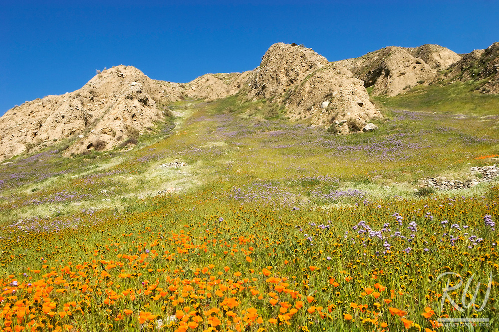 Golden Poppies at The Wind Wolves Preserve, Kern County, California