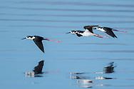Black-necked stilts in flight reflected in water, Salton Sea, CA, © 2011 David A. Ponton