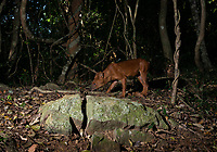 The Dhole (Cuon alpinus) is a diurnal pack hunter which preferentially targets medium and large-sized ungulates. In tropical forests, the dhole competes with tigers and leopards, targeting somewhat different prey species, but still with substantial dietary overlap.