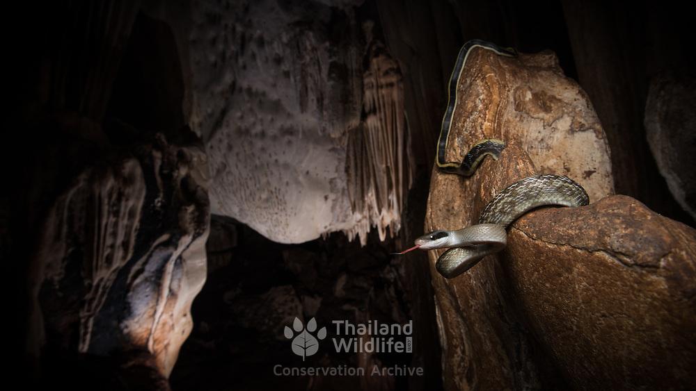 Cave Racer (Elaphe taeniura helfenbergeri) in Sai Yok national park, Thailand