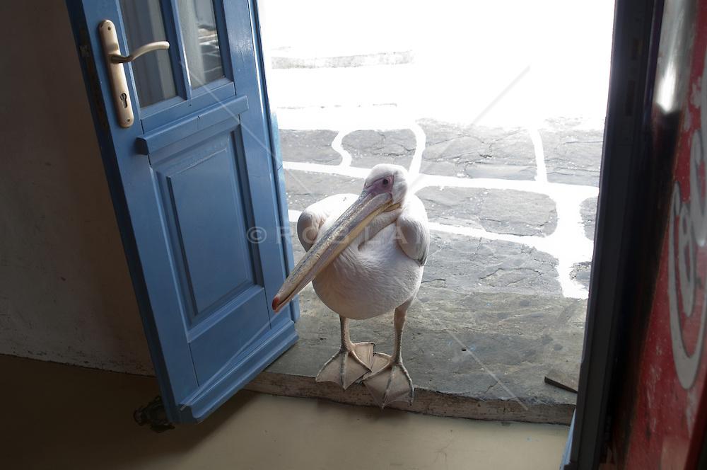pelican standing in a store doorway in Greece