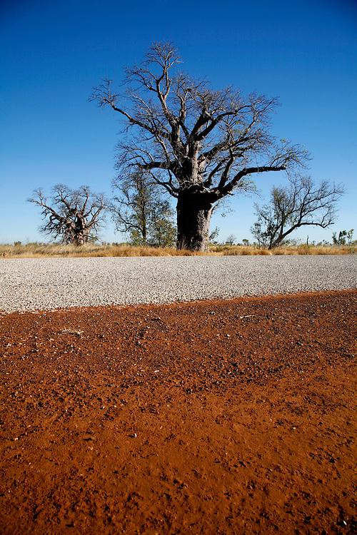 Estrada Broome-Kununurra<br /> No meio da savana em que o capim &eacute; incendiado, erguem-se milhares de termiteiras e nascem diferentes arbustos e &aacute;rvores. Com o seu tronco brilhando como se de metal e a forma de garrafa com peruca desgrenhada o boab destaca-se de todas. Sim, escrevi bem. N&atilde;o &eacute; baobab como os de &Aacute;frica, mas deve ser da mesma fam&iacute;lia pela apar&ecirc;ncia. &Eacute; um mist&eacute;rio como &eacute; que estes embondeiros c&aacute; vieram parar mas o certo &eacute; que s&atilde;o in&uacute;meros os que se avistam ao longo da estrada.