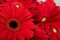 April 30, 2007; Los Angeles, CA - Red Gerbera flowers..Photo Credit: Darrell Miho