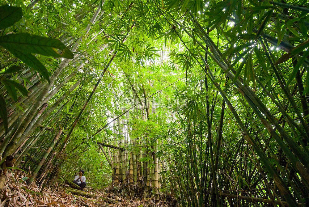 An explorer is dwarfed by giant bamboo near Keluru, Kerinci Seblat National Park, Sumatra.