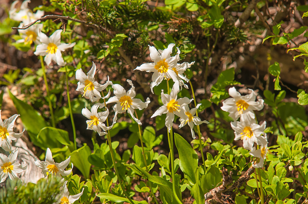 Avalanche lilies growing on the edge of snowmelt on a sunny summer day on Mount Rainier.
