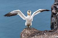 Basstölpel; Bass Rock, Schottland