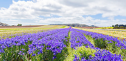 Fields of Dutch Iris blooming at Table Cape in northwest Tasmania.