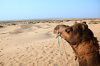 camel sitting khuri dunes in thar desert near jaisalmer in rajasthan state in india
