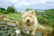 Dog on stone wall, Cregneash, Isle of Man, UK