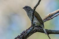 Pallid Honeyguide, Dondo Forest, Beira, Sofala Province, Mozambique