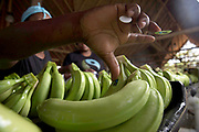 The labeling process happens before packing the bananas. Packs are separated into 6 or 8 fingers and labeled individually.