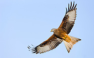 Red kite, United Kingdom