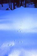 Rabbit tracks across freshly fallen snow.