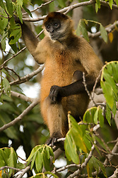 Central America, Nicaragua, Granada.  Spider monkey (ateles geoffroyii) in tree on one of the islands (Isletas de Granada) in  Lake Nicaragua (Cocibolca),