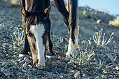 PLACITAS WILD HORSES: BLACK WITH BLAZE, LOW-ANGLE FORAGING