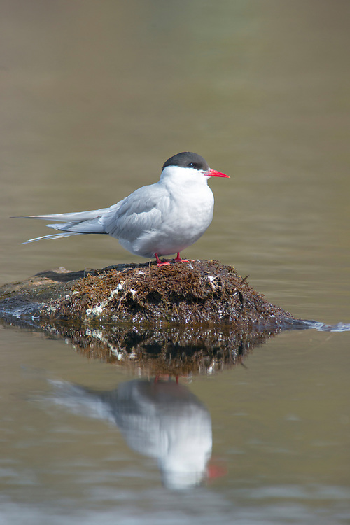 The graceful, angel-like Arctic Tern travels thousands of miles to nest in Alaska. One of the most beautiful birds in flight or resting.