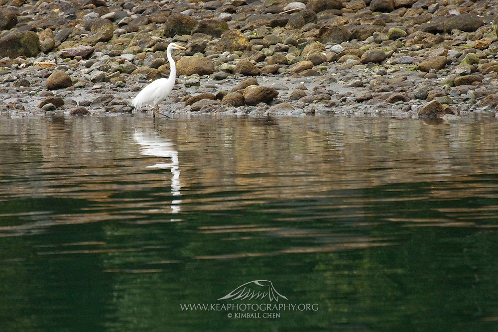 Eastern Great Egret, Milford Sound, New Zealand