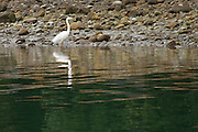Eastern Great Egret, Milford Sound, New Zealand