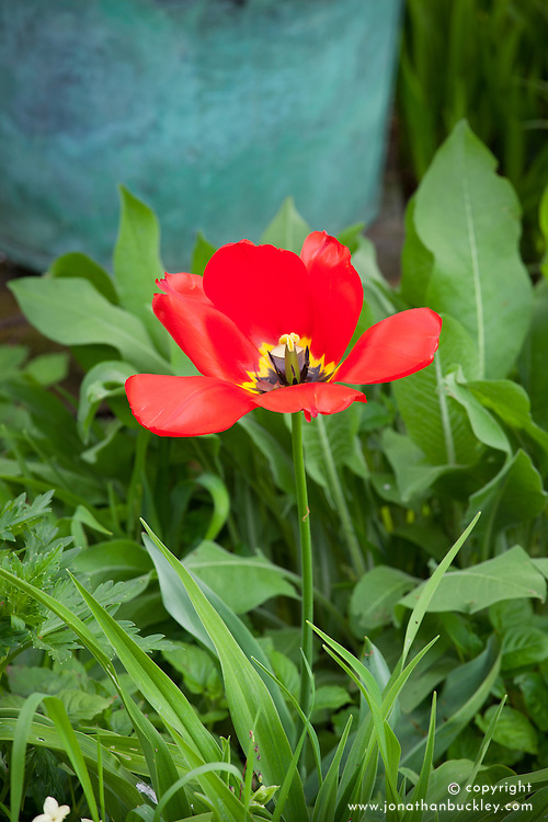 Unknown red tulip at Glebe Cottage that makes annual appearance