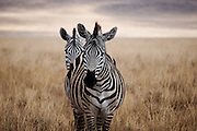 A pair of zebras in the Serengeti National Park in Tanzania, facing the camera as if seeing double.