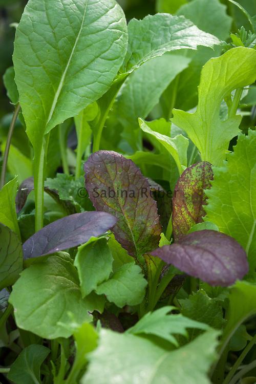 Salad Leaves/Salad Greens 'Siamese Dragon' Stir-fry Mix