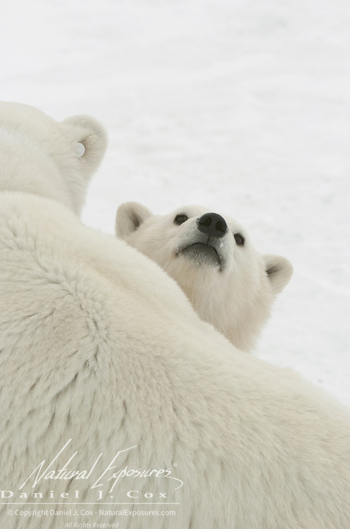 Polar Bear (Ursus maritimus) cub peers over its mother at Cape Churchill, near Churchill, Manitoba, Canada.