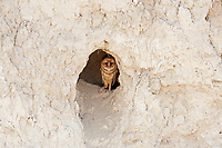 A young Barn Owl stands inside a dirt cavern side wall of a northern Utah desert ravine.