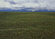 Alaska. ANWR. Mountain Avens ( Dryas species) Hulahula River, Romanzof and Franklin Mountains.