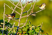 Male and female American Redstart - Setophaga ruticilla sitting on  spiny branches
