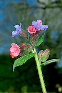 LUNGWORT Pulmonaria officinalis (Boraginaceae) Height to 30cm. Roughly hairy perennial of verges and waysides. FLOWERS are 1cm across, bell-shaped and pink at first, turning blue; in terminal clusters (Feb-May). FRUITS are egg-shaped nutlets. LEAVES are oval and green with white spots; basal ones taper abruptly to winged stalks; stem leaves are unstalked and clasping. STATUS-Naturalised locally.