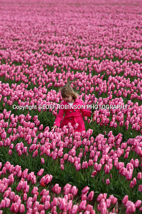 ".PIC SHOWS ISABELLA WARD,4,,ON TUESDAY 12 APRIL IN THE FIELD OF  TULIPS IN NORFOLK  THAT ARE GROWN BY HER GRANDFATHER PETER WARD... Pretty  Isabella Ward  tiptoes through the tulips in Britain's last remaining bulbfields after the flowers burst into life two weeks early...The little girl  looks like she is in the heart of Holland but amazingly this stunning 70 acre field is in the middle of the English countryside...Olivia's grandparents Janet and Peter Ward have been inundated with people wanting to view their magnificent crop of tulips in Norfolk after they arrived a fortnight early due to the extra warm Spring weather...The field near the village of Narborough has turned the landscape into an incredible kaleidoscope of colours to look more like a scene from the Netherlands than the UK...""We are very pleased with the spectacular crop of tulips this year, which have opened two weeks earlier than normal due to the warm weather,"" said Susanne Eves, who helps her parents run Belmont Nurseries...""We have already had lots of emails and phone calls from people who can't travel to Holland and want to visit our bulb fields instead...""At one time there used to be lots of tulip fields in this area and people would be able to go on bus trips to see the bulbs...SEE COPY CATCHLINE Britain's last tulip fields flower."