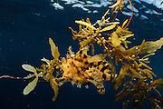 Sargassum Fish (Histrio histrio) near the surface on floating Sargassum Weed, Raja Ampat, West Papua, Indonesia, Pacific Ocean [ Sargassum fish (Histrio histrio)<br />This anglerfish commonly occurs in the open sea and is closely associated with the floating Sargassum Weed.  It is perfectly disguised in carpets of sea weed where it waits for prey organisms that actually seek shelter there. A patch of Sargassum Weed was floating by our boat after one of our dives near Raja Ampat and we jumped back into the water to look for the fish. The main challenge in photographing this animal really was to find it. It took many people and a lot of time to finally find one &ndash; although we were systematically looking for it. This animal has the size of a fist and was very well hidden in large algae carpets of 10 m x 15 m. ]