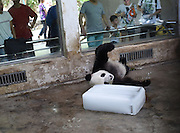 WUHAN, CHINA - JULY 23: A panda plays an ice block at Wuhan Zoo on July 23, 2016 in Wuhan, Hubei Province of China. The high temperature in south China\'s Wuhan City has reached to 36 degree celsius and animals relieve themselves on ice blocks.<br /> ©Exclusivepix Media