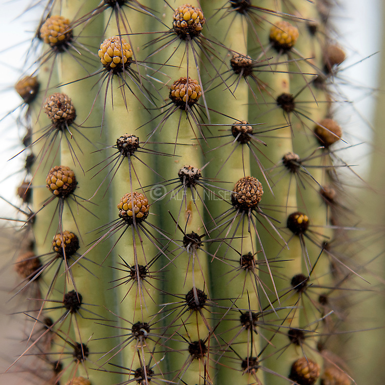 Close up of the Organ Pipe cactus (Stenocereu thurberi) from organ Pipe cactus National Monument, southern Arizona.