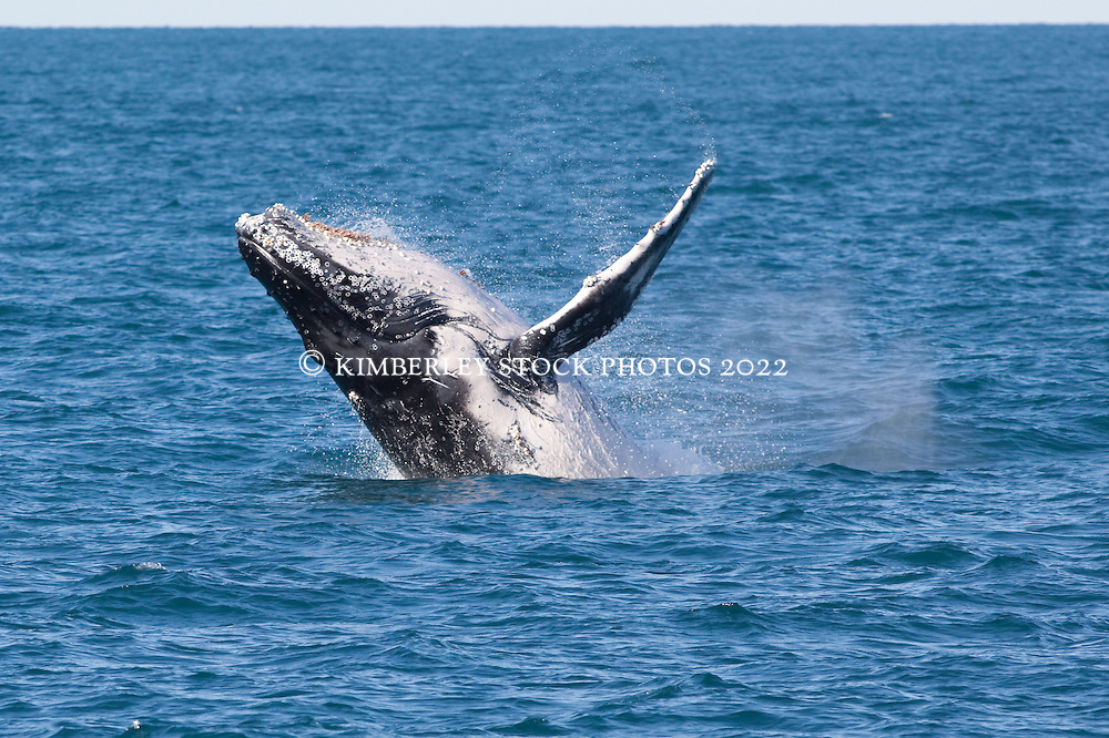 A humpback whale breaches off Barred Creek on the Kimberley coast.  Western Australia's Kimberley region is home to the world's largest population of Humpback whales, now thought to number between 22,000 and 30,000 individuals.