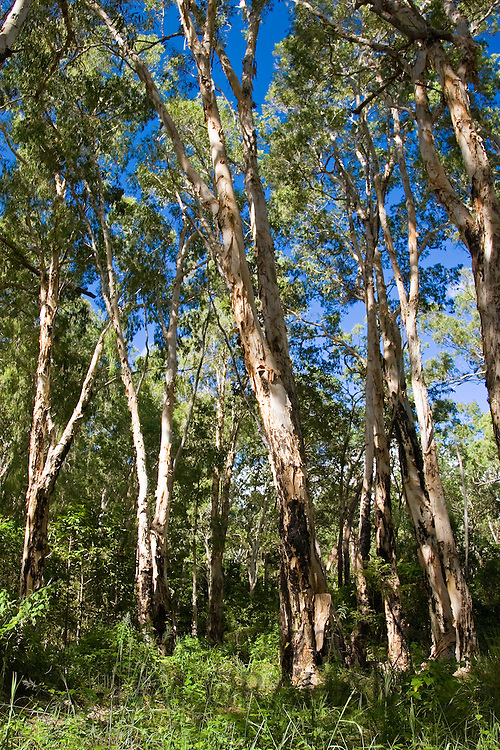 Paperbark Tea Trees, Mary Creek in the Daintree Rainforest, Australia