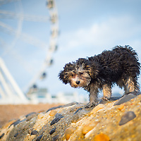 Images of Abigail the puppy on Brighton beach.