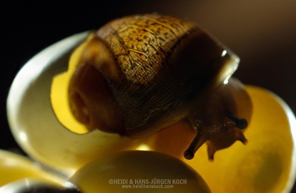 Deutschland, DEU, 2002: gerade geschluepfte Afrikanischen Riesenachatschnecke (Achatina fulica) in einem Nest mit anderen Eiern. Die Haelfte der Schnecke steckt noch in dem kaputten Ei.   Germany, DEU, 2002: Fresh hatched giant african land snail (Achatina fulica) in the nest with other eggs. Half of the snail still sticks in the broken egg.  