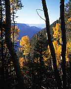 Aspen trees (Populus tremuloides) with golden leaves of autumn, view So. into Roaring Springs Canyon, from No. Kaibab Trail, Grand Canyon Natl. Park, Arizona..Subject photograph(s) are copyright Edward McCain. All rights are reserved except those specifically granted by Edward McCain in writing prior to publication...McCain Photography.211 S 4th Avenue.Tucson, AZ 85701-2103.(520) 623-1998.mobile: (520) 990-0999.fax: (520) 623-1190.http://www.mccainphoto.com.edward@mccainphoto.com.