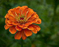 Orange Zinnia flower after the rain. Backyard summer nature in New Jersey. Image taken with a Leica T camera and 55-135 mm lens (ISO 100, 135 mm, f/5.6, 1/80 sec).