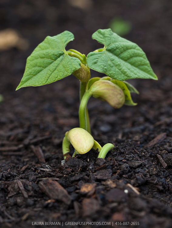 Close up of bean seedlings emerging from humus-rich soil and showing their first set of leaves.