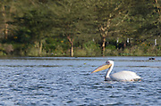 Kenya, lake naivasha, white pelican (pelecanus onocrotalus), floating on the water