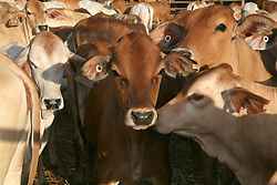 Cattle for live export are penned up at the Brome sale yards