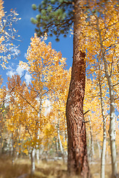 """Aspen in Tahoe 3"" - These aspen trees and pine tree were photographed in the Fall near Brockway Summit, Tahoe. A tilt-shift lens was used to achieve the focus effect."