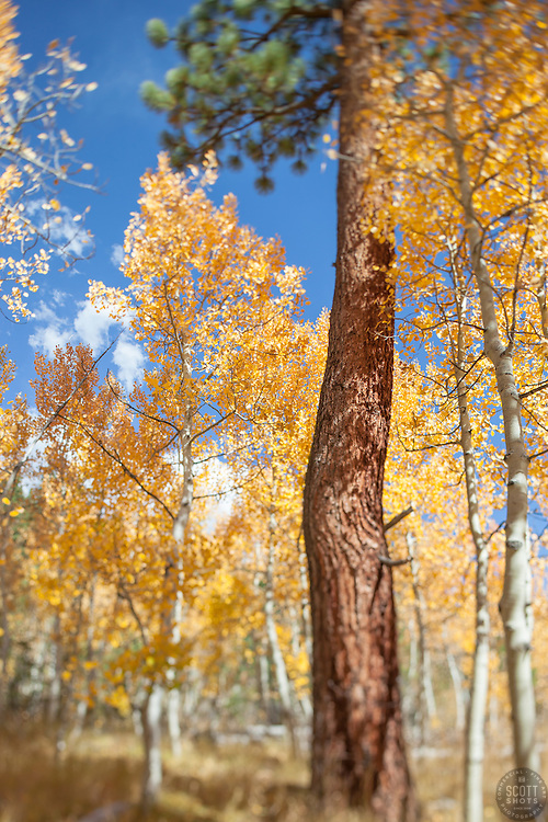 """""""Aspen in Tahoe 3"""" - These aspen trees and pine tree were photographed in the Fall near Brockway Summit, Tahoe. A tilt-shift lens was used to achieve the focus effect."""