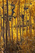 Aspen glowing in the late afternoon sunlight.