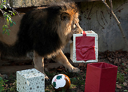© Licensed to London News Pictures. 15/12/2011. LONDON, UK. London Zoo's male lion, Lucifer, carries presents left for his pride inside their enclosure by a keeper. The lions London of London Zoo get into the Christmas Spirit after keepers delivered some early presents to their enclosure. Photo credit: Matt Cetti-Roberts/LNP